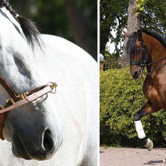 Lyxlektion på Lusitanohäst för två - Privat ridlektion nära Stockholm